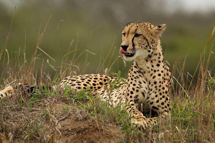 چیتای آسیایی / CHARLES SHARP