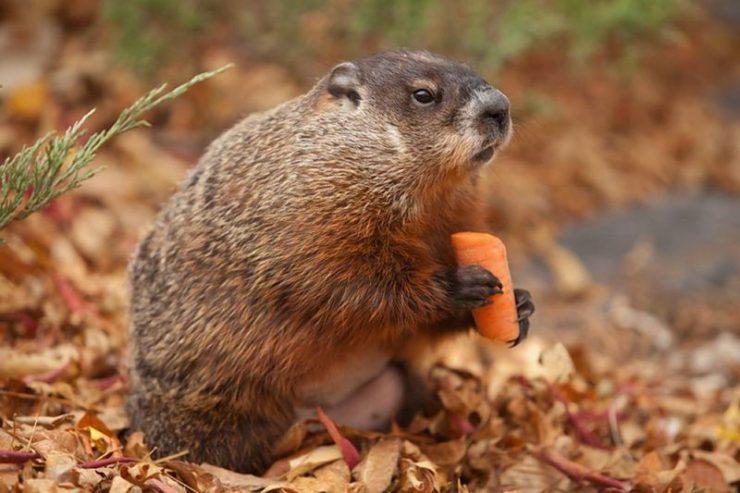 موش خرما در کانادا و روز موشخرما / Groundhog Day